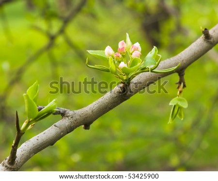 Spring efflorescence. Small  flower  buds  of pears - stock photo