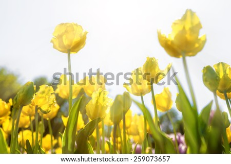 Spring field of yellow tulips against bright sunshine with rays of light. Focus is on the upper left flower. - stock photo