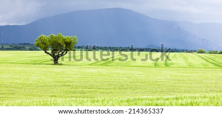 spring field with a tree, Plateau de Valensole, Provence, France - stock photo