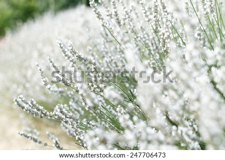 Spring field with white lavender flowers - stock photo