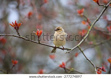 Spring. Finch (female) ( lat.Fringilla coelebs) is sitting on a branch of apple. - stock photo