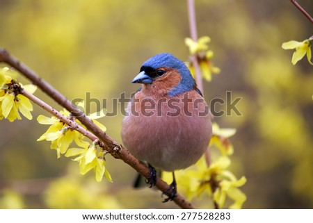 Spring. Finch (lat.(Fringilla coelebs)  sitting on a branch forsythia - stock photo