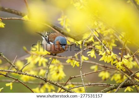 Spring. Finch (lat.Fringilla coelebs)  sitting on a branch forsythia. - stock photo