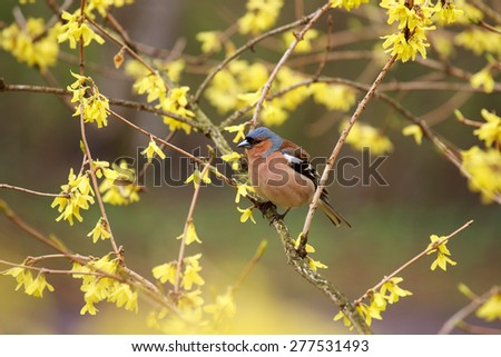 Spring. Finch (lat. Fringilla coelebs)  sitting on a branch forsythia. - stock photo