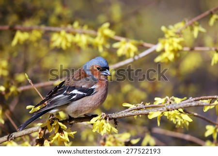 Spring. Finch sitting on a branch forsythia. - stock photo