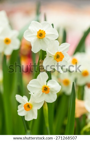 Spring floral border, beautiful fresh narcissus flowers, Close Up. - stock photo
