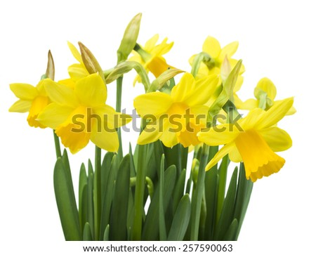 Spring floral border, beautiful fresh narcissus flowers, isolated on white background (selective focus) - stock photo