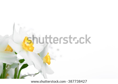 Spring floral border, beautiful fresh narcissus flowers, on white background - stock photo