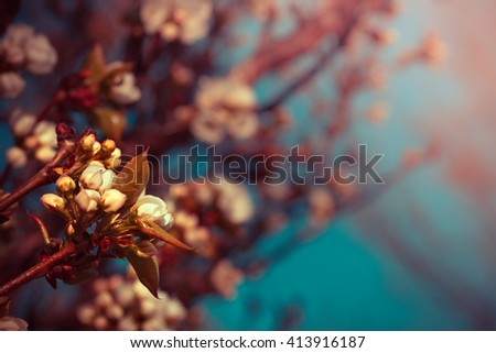 Spring Flower background with cherry tree bloom, Beautiful pink flowers made with color filters, spring bloom, spring background with sakkura - stock photo