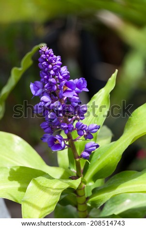 spring flower, Hyacinth  - stock photo