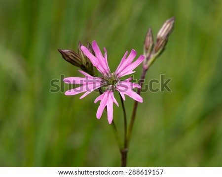 Spring flower. Ragged robin. Lychnis flos-cuculi. Differential focus. - stock photo