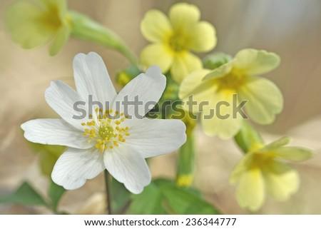 Spring flower wood anemone - anemone nemorosa and Primula vulgaris - stock photo