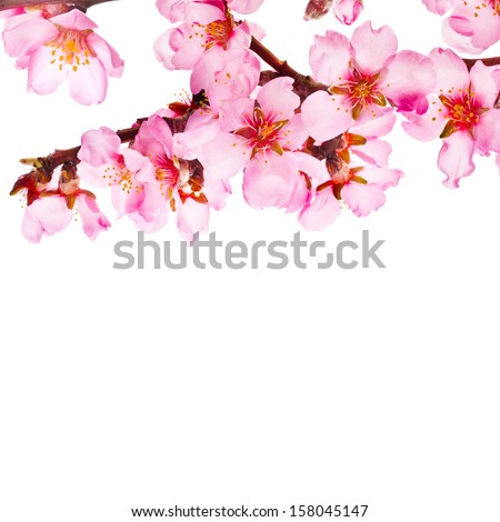 Spring flowering branches, pink flowers, no leaves, blossoms Almond isolated on white background - stock photo