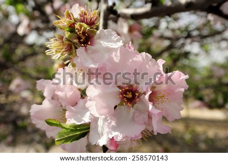 Spring flowering of almond trees in orchard. - stock photo