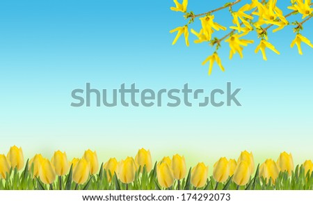 Spring flowers. Abstract background for design. Yellow tulips, forsythia flowers. Place for your text. - stock photo