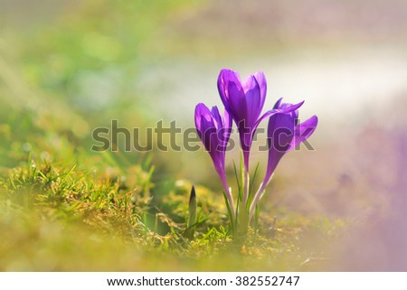 Spring flowers. Blooming violet crocuses in the mountains.  - stock photo