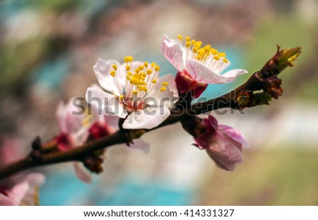 spring flowers. Blossoming trees in the spring blurred background. apricot. - stock photo