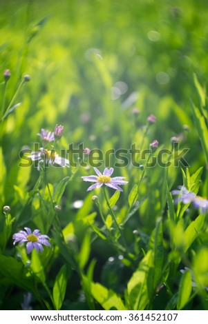 Spring Flowers Daisies at beautiful sunny day. - stock photo