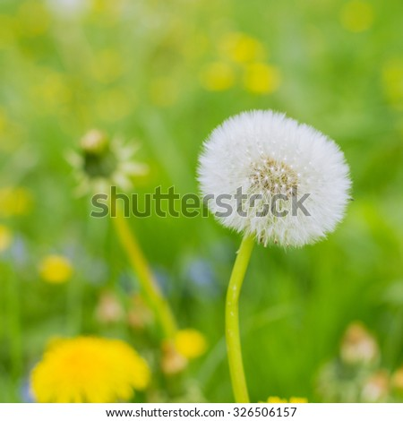 Spring Flowers Dandelions at beautiful sunny day. - stock photo