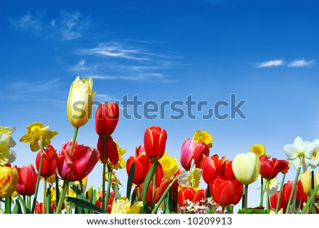 Spring flowers, e.g. tulips and daffodils in the blue sky background - stock photo