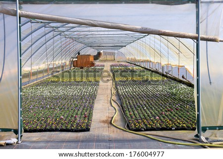 Spring flowers in a plastic greenhouse - stock photo