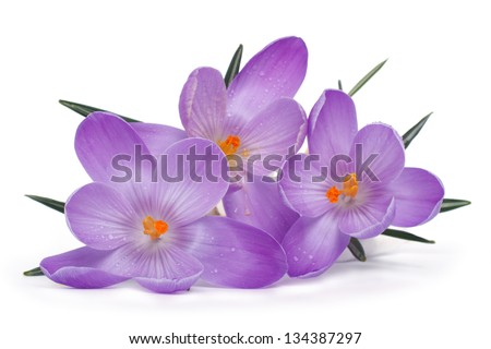 Spring flowers isolated on a white background. Crocus. - stock photo