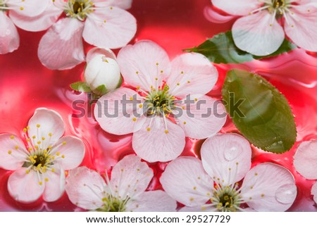 spring flowers of sakura in water - stock photo
