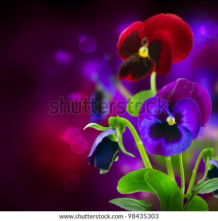 Spring Flowers Pansy over Black - stock photo