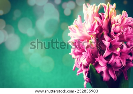 Spring flowers. Pink hyacinth on green background - stock photo