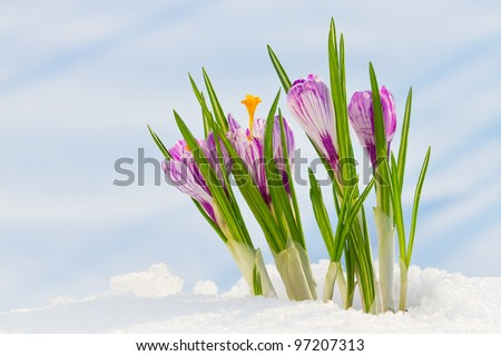spring flowers, snowdrops, crocus in the snow - stock photo