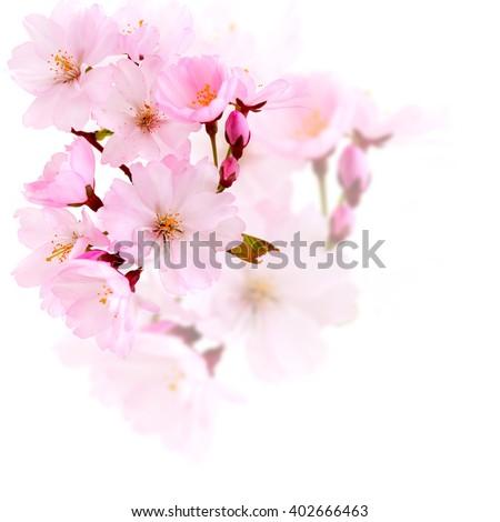 Spring flowers. Spring flowers - cherry blossom on white. Spring flowers isolated. Spring flowers  on white background.Card with spring flowers.Spring flowers card with copy space.Spring flower border - stock photo