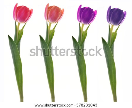 spring flowers. Tulips isolated on white - stock photo