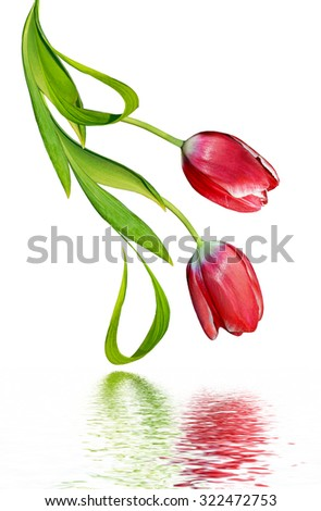 spring flowers tulips isolated on white background - stock photo