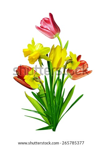 spring flowers tulips isolated on white background. narcissus - stock photo