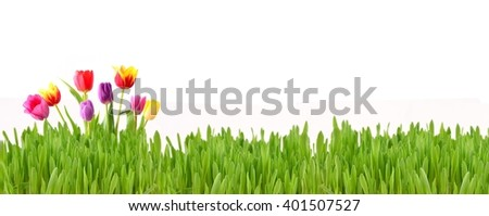 Spring flowers tulips. Spring flowers background. Spring flowers in grass. Spring flowers isolated on white background. Spring flowers border. - stock photo