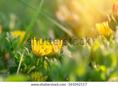 Spring flowers - yellow flowers in meadow lit by sunlight - stock photo