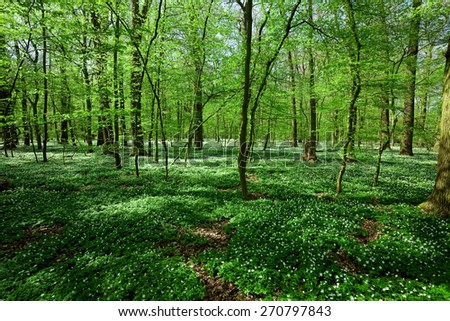 spring forest landscape with windflower - stock photo