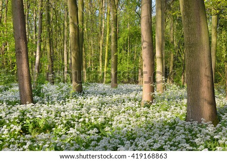 Spring forest with blooming white flowers. Wild garlic (Allium ursinum) in Stochemhoeve, Leiden, the Netherlands - stock photo