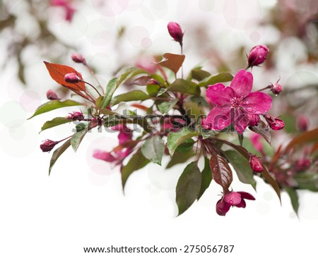 spring garden, flowers of paradise apple tree - stock photo