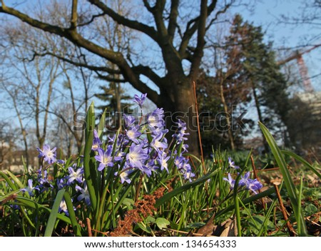 Spring garden with Siberian Squills (Scilla Siberica) in foreground and old trees - stock photo
