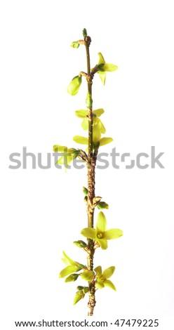 spring golden bell - stock photo