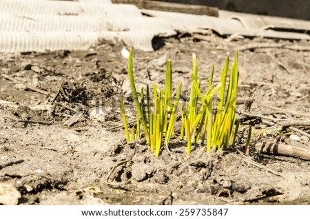 Spring grass plants is growing out of ground, concept of new life - stock photo