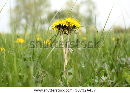 Spring. Green field with tall grass. Two yellow dandelion lovers. - stock photo