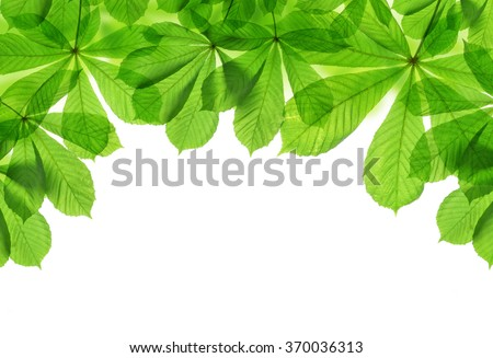 Spring green leaves of chestnut tree isolated on white background - stock photo