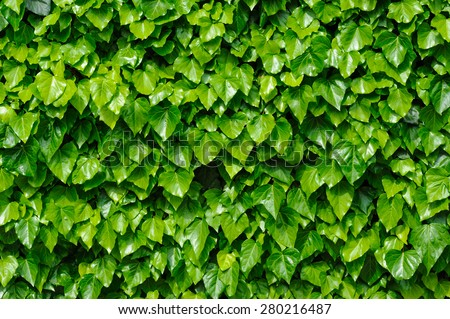 Spring green lush ivy leaves wall background - stock photo