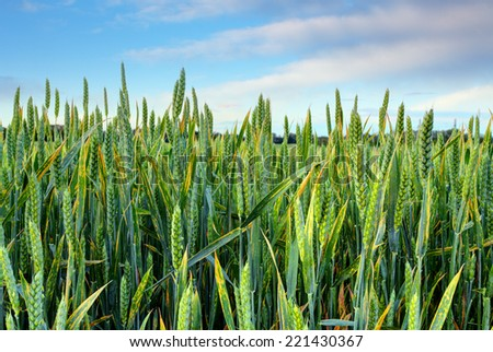 Spring Green wheat field - stock photo