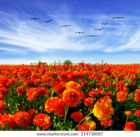 Spring in Israel. Magnificent field of bright red buttercups. Flies over a field flock of cranes.  - stock photo