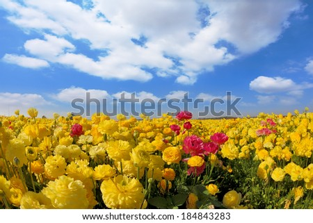 Spring in Israel. Picturesque field of bright yellow buttercups - ranunculus - stock photo