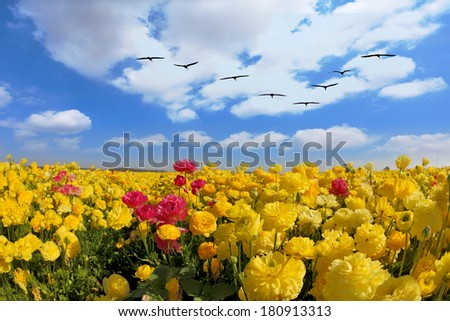 Spring in Israel. Picturesque large field of beautiful yellow buttercups ranunculus. - stock photo