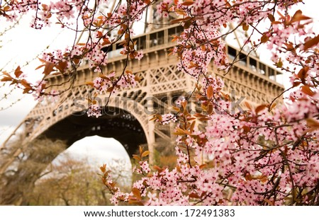 Spring in Paris. Bloomy cherry tree and the Eiffel Tower. Focus on flowers - stock photo